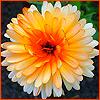 Аватар Цветок хрезантема (© Lintu), добавлено: 06.06.2008 10:57
