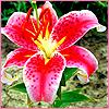 Аватар Цветок Лилия красная (© Lintu), добавлено: 06.06.2008 10:57