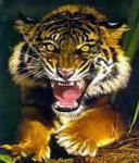 Аватар тигрище рык (© Рифеста), добавлено: 10.06.2008 11:30
