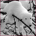 Аватар Белый медведь на ветке) (© Mirrorgirl), добавлено: 21.12.2008 02:18