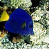 Аватар синяя рыба (© ), добавлено: 05.05.2008 17:49
