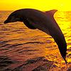 Аватар дельфин на закате