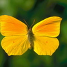 Аватар желтая бабочка (© ), добавлено: 30.04.2008 14:49