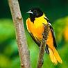 Аватар желто-черная птица (© ), добавлено: 30.04.2008 14:50