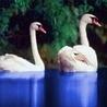 Аватар лебеди (© ), добавлено: 30.04.2008 15:00