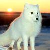 Аватар белая лиса на закате