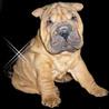Аватар щенок шарпея (© ), добавлено: 04.05.2008 10:05