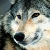 Аватар портрет волка (© ), добавлено: 05.05.2008 10:12