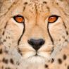 Аватар грустный леопард (© ), добавлено: 05.05.2008 10:15