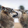 Аватар волки дерутся (© ), добавлено: 05.05.2008 10:28