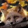 Аватар лиса осенью