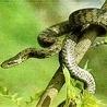 Аватар змея на дереве (© ), добавлено: 05.05.2008 17:44