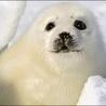 Аватар тюлень (© ), добавлено: 05.05.2008 17:45