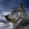 Аватар волк на фоне неба (© ), добавлено: 05.05.2008 17:46