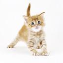Аватар Рыжий котенок (© Mirrorgirl), добавлено: 31.07.2008 23:25