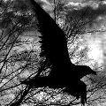 Аватар Черный ворон среди деревьев