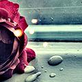 Аватар роза (© Mirrorgirl), добавлено: 27.11.2008 19:13