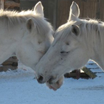 Аватар белые лошади (© Radieschen), добавлено: 14.04.2009 13:41