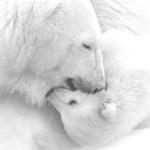 Аватар влюбленные белые медведи