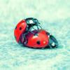 Аватар Божьи коровки, любовь божьих коровок, насекомые (© Mirrorgirl), добавлено: 15.04.2009 12:21