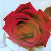 Аватар Роза (© Mirrorgirl), добавлено: 23.04.2009 14:12