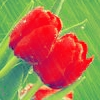 Аватар Тюльпаны (© Mirrorgirl), добавлено: 01.05.2009 14:27