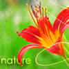 Аватар Природа,лилия,nature (© Mirrorgirl), добавлено: 12.05.2009 21:35