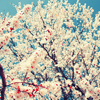 Аватар Цветущее дерево (© Mirrorgirl), добавлено: 30.05.2009 20:00