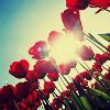 Аватар Тюльпаны (© Mirrorgirl), добавлено: 15.06.2009 12:39