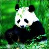 Аватар Панда (© Lintu), добавлено: 27.06.2009 23:06