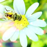 Аватар Пчелка на ромашке (© Ego), добавлено: 20.07.2009 15:53