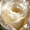 Аватар Роза (© LadyDrug), добавлено: 16.08.2009 15:11