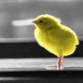 Аватар Яркий цыпленок