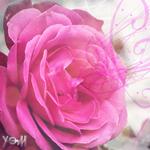 Аватар Розовая роза (© Ego), добавлено: 13.09.2009 16:31