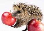 Аватар Ёжик с яблоками