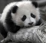Аватар Грустный Панда