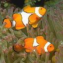Аватар Рыбки клоуны