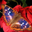 99px.ru аватар Яркая бабочка