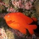 Аватар Красная рыбка
