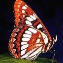 Аватар Бабочка. (© Юки-тян), добавлено: 16.04.2010 09:54
