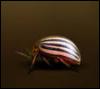 Аватар Полосатый жук