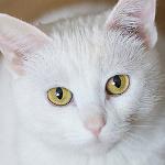 Аватар Белый кот