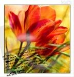 Аватар Красные тюльпаны