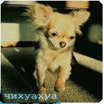 Аватар Собака породы Чихуахуа ('Чихуахуа')