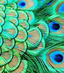 Аватар Красивые перья павлина