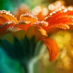 Аватар Гербера в каплях солнечной росы