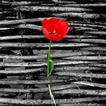 Аватар Красный тюльпан (© Радистка Кэт), добавлено: 16.05.2011 04:42