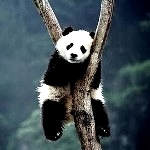 Аватар Панда сидит на дереве