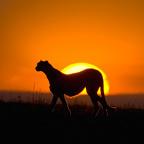 Аватар Пантера на фоне заходящего солнца