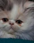 Аватар Красивый персидский кот